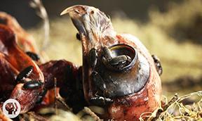 Flesh-Eating Beetles Strip Bodies to the Bone Grades: 6-12